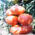 Picture of Rosia romaneasca uriasa de gradina